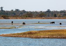 Bubalis del bubalus del búfalo en el lago Bungva Imagenes de archivo