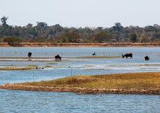 Bubalis del bubalus della Buffalo nel lago Bungva immagini stock