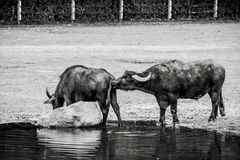Bubalus arnee cattle. Bubalus arnee cooling down in the water Royalty Free Stock Photography