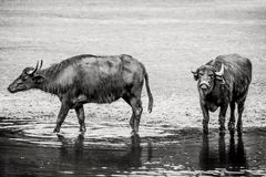 Bubalus arnee cattle. In a pond Stock Photography