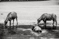 Bubalus arnee cattle. In the water Stock Image