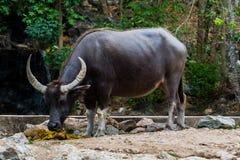 Bubalus arnee in the zoo. Bubalus arnee is wildlife sanctuary in Thailand Stock Photo