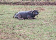 Bubalus bubalis or Swamp buffalo. In the field Royalty Free Stock Photo