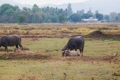 Bubalus bubalis or Swamp buffalo. In the field Stock Photo