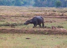 Bubalus bubalis or Swamp buffalo. In the field Royalty Free Stock Photos