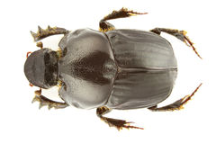 Bubas bubalus. Isolated (dung beetle) on a white background Royalty Free Stock Photos