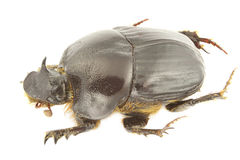 Bubas bubalus. (dung beetle) isolated on a white background Stock Photo