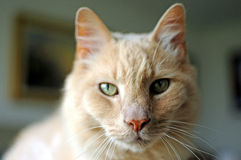 Bubba, Maine Coon Cat, die uit op Cat Perch hangen Stock Afbeelding