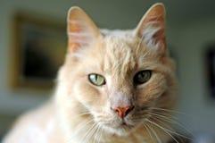 Bubba Maine Coon kot, Wiszący na kot żerdzi Out Obraz Stock