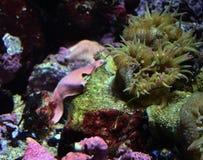 Bubblaspetsanemon med krabban fotografering för bildbyråer