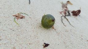 Bubble Algae or Sailor`s Eyeballs. Valonia ventricosa, also known as `Bubble Algae` and `Sailor`s Eyeballs,` is a species of algae found in oceans throughout the Stock Photography