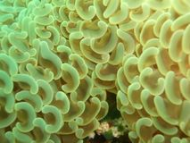 Bubble anchor coral (Euphyllia ancora) Stock Images