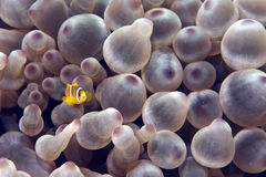 Bubble Anemone And Anemonefish Royalty Free Stock Photos