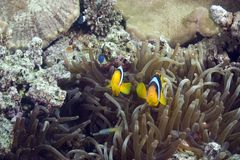 Bubble anemone and anemonefish Stock Images