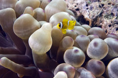 Bubble anemone and anemonefish Royalty Free Stock Photography