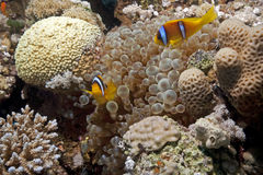 Bubble anemone and anemonefish Royalty Free Stock Photo