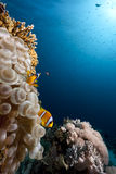 Bubble anemone, ocean and coral Stock Photo