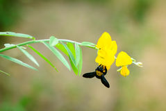 Bubble bee with juncea flower Royalty Free Stock Photo