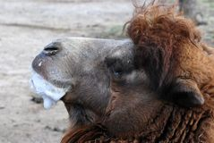 Bubble blowing camel Royalty Free Stock Photo