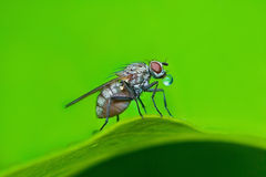 Bubble blowing fly sitting on leaf on green background Stock Photo