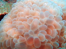 Bubble coral. Beautiful colors of Bubble coral Euphyllia sp Stock Images
