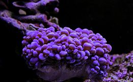 Bubble Coral - Euphyllia species Large Polyp Stony coral in saltwater reef aquarium. Euphyllia is a genus of large-polyped stony coral.Several species are royalty free stock images