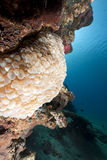 Bubble coral and ocean Royalty Free Stock Image
