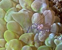 Bubble coral shrimp Stock Photos