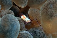 Bubble coral shrimp Stock Photo