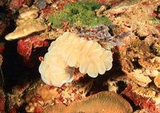 Bubble coral Stock Photos