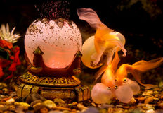 Bubble Eye Goldfish. Aquarium water underwater life gold interior water Royalty Free Stock Image