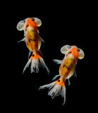 Bubble goldfish isolated on black backgrou Royalty Free Stock Images