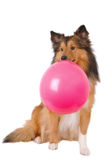 Bubble gum dog Stock Photos