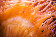 Bubble Sea Anemone Royalty Free Stock Image