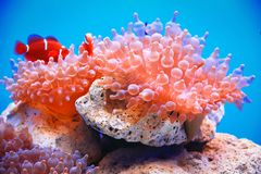 Bubble-tip anemone Royalty Free Stock Image