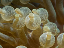 Bubble tip anemone Stock Photos