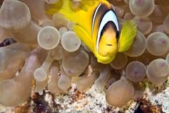 Bubbleanemone and anemonefish Stock Photos