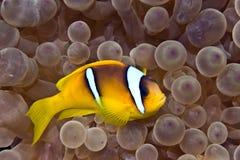 Bubbleanemone en anemonefish stock afbeeldingen