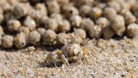 Bubbler άμμου καβούρι, κινηματογράφηση σε πρώτο πλάνο απόθεμα βίντεο