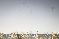Bubbles floating across an empty summer sky with a band of flowering bunnies tail grasses at bottom edge Stock Photos