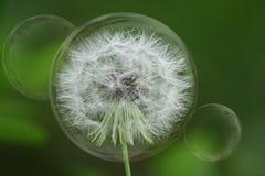 bubbles maskrosen Arkivfoto