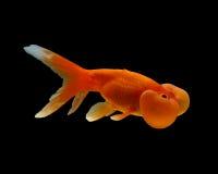 Bubbleye Goldfish auf Schwarzem Stockbilder
