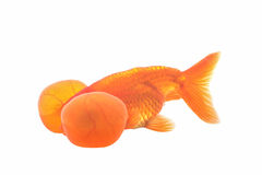 Bubbleye goldfish isolated Royalty Free Stock Images