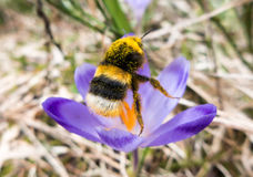 Buble-bee on crocus Royalty Free Stock Photo