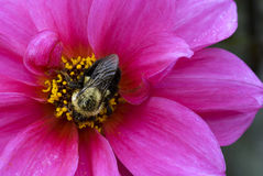 Buble bee on Dahlia blossom. A bumble bee (Bombus fervidus) gathers pollen on a magenta-colored dahlia blossom in a garden in southern Barry Co., Michigan Stock Images