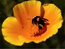Bublebee Imagen de archivo libre de regalías
