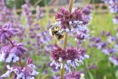 Bubmblebee на лете, фиолетовый цветок Стоковое фото RF