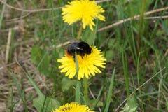 Bubmlbee on dandelion stock photo