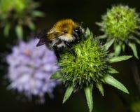 Bubmlebee en inflorescencia escabiosa del s-pedazo del ` del diablo terminó la macro floreciente, foco selectivo Foto de archivo