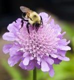Bubmlebee on a Pincushion (Scabiosa) stock photos
